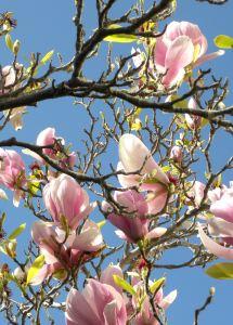 041-magnolia